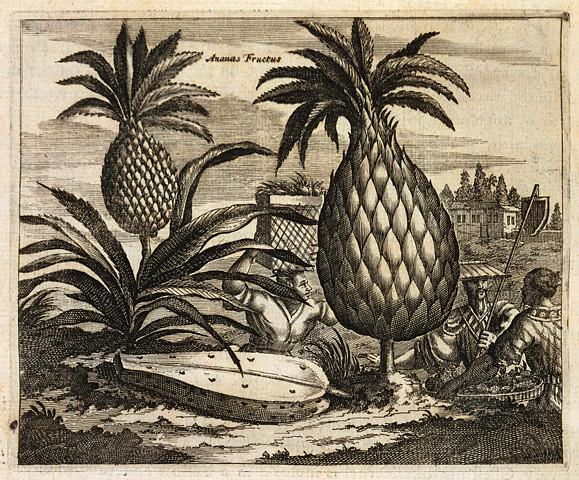 17th-Century Pineapple Engraving