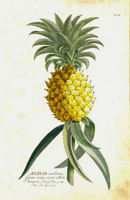 Ananas aculeatus