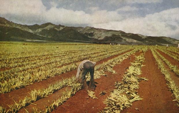 C162 -- Planting Pineapple