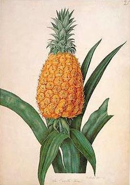 Enville Pineapple