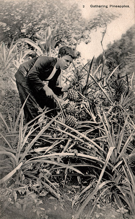 Gathering Pineapples, St. Vincent