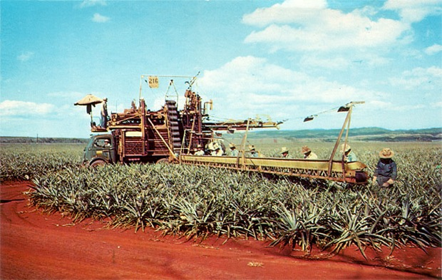 Pineapple Harvesting in our 50th State Hawaii