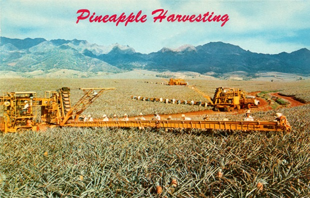 Pineapple Harvesting