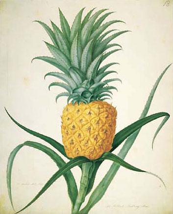 Welbeck Pineapple